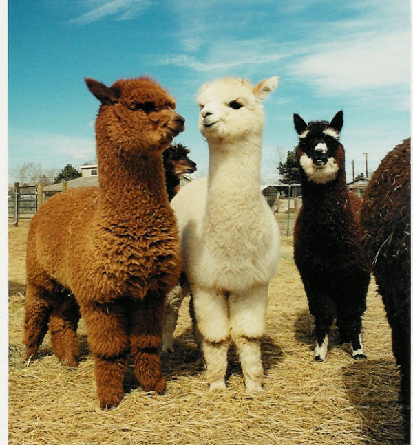 What's Your Anchor? Or, Why I have An Obsession With Alpacas